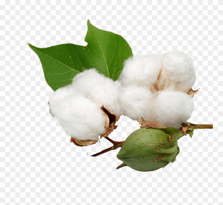 Plant . Cotton clipart transparent background