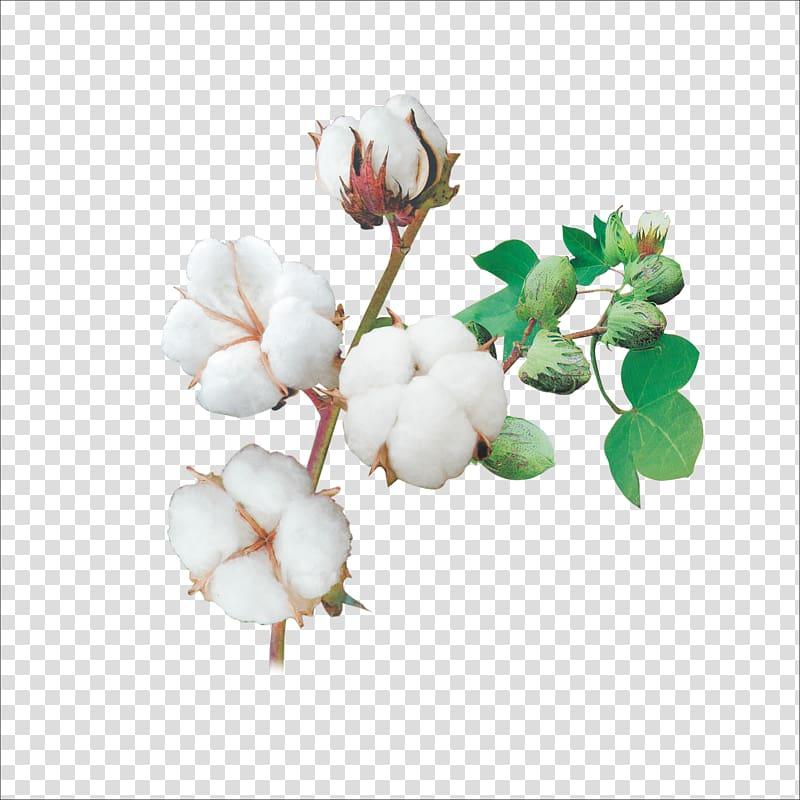 Cotton clipart transparent background. Png hiclipart
