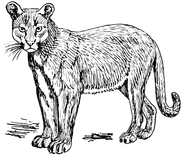 Cougar clipart puma animal. Free cliparts download clip