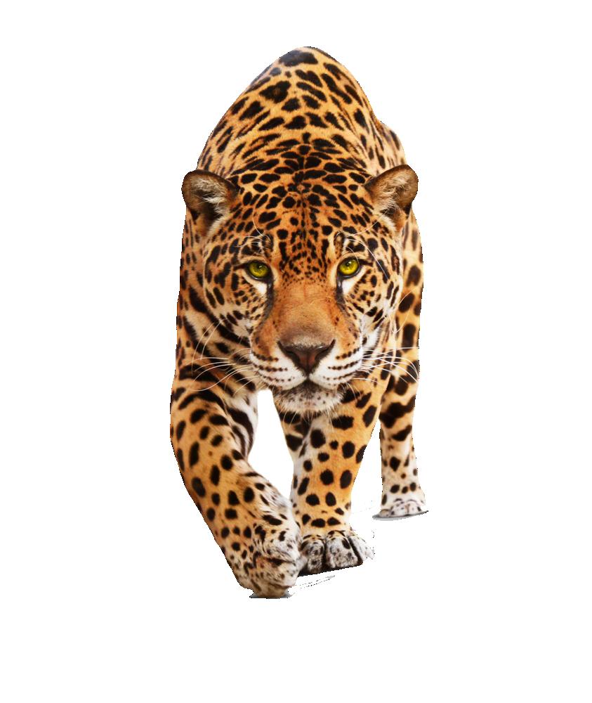 Png transparent background recherche. Female clipart jaguar