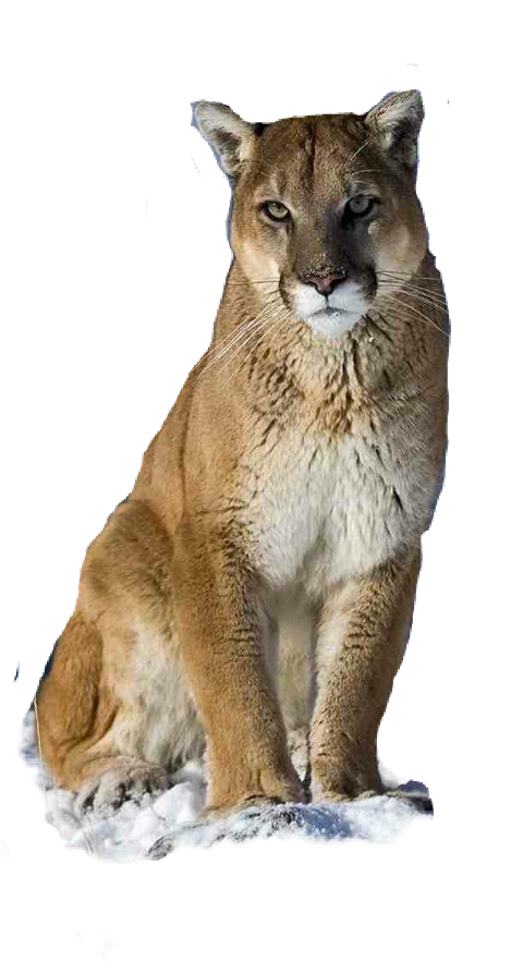 Cougar clipart puma animal. Popular and trending stickers
