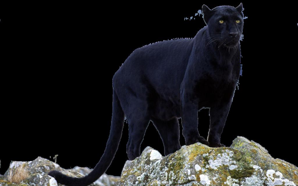 Black panther jaguar leopard. Cougar clipart puma animal