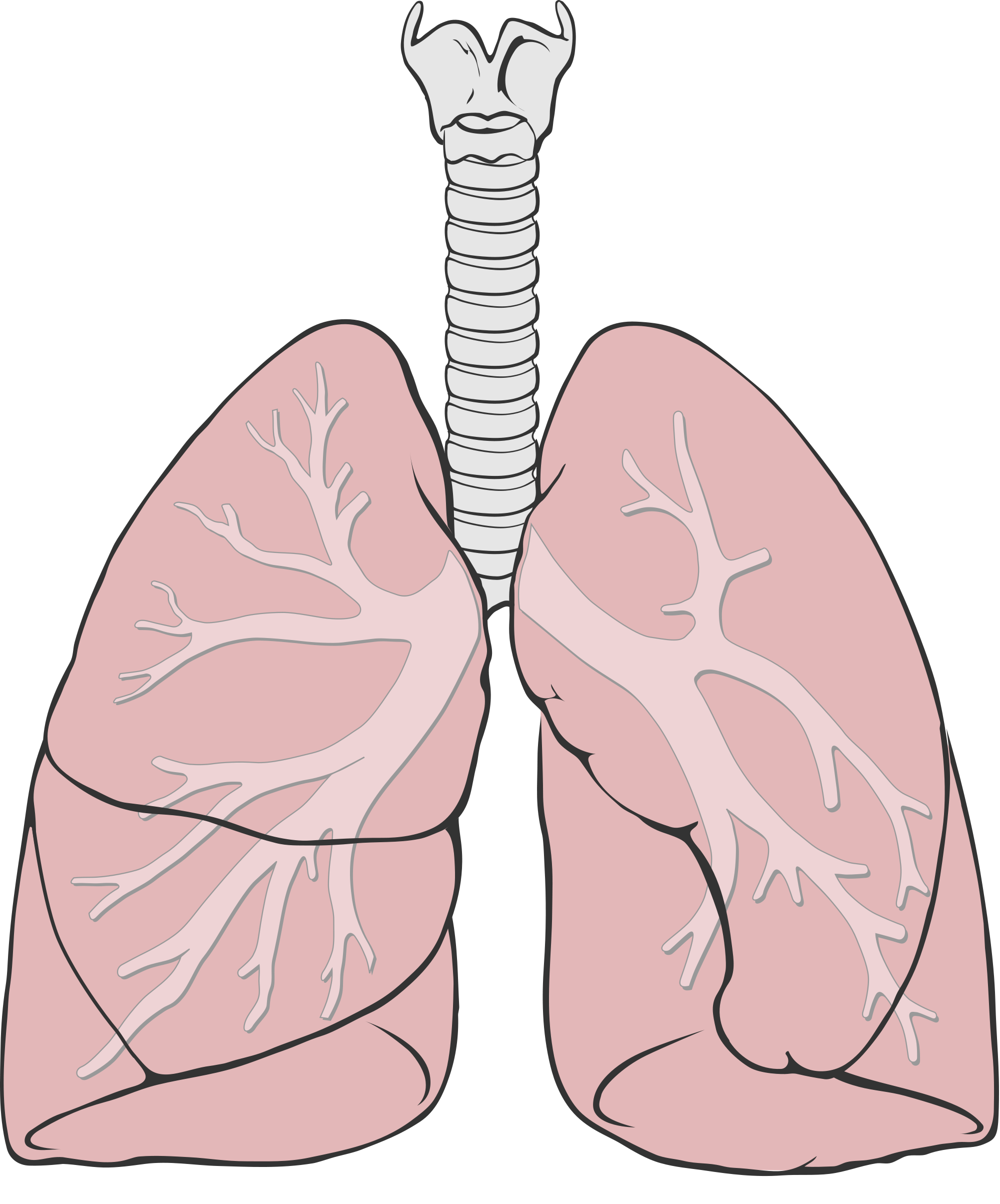 Nose clipart respiratory system. Sex and gender differences
