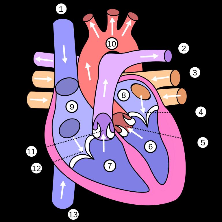 Cough clipart poumons. File diagram of the