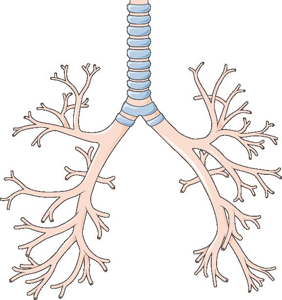 Cough clipart poumons. Trachea and bronchi servier