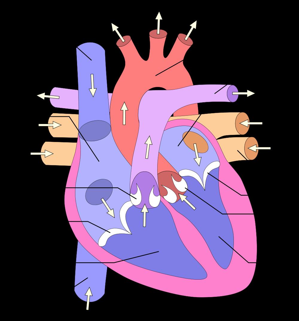 Cough clipart poumons. File heart numlabels svg