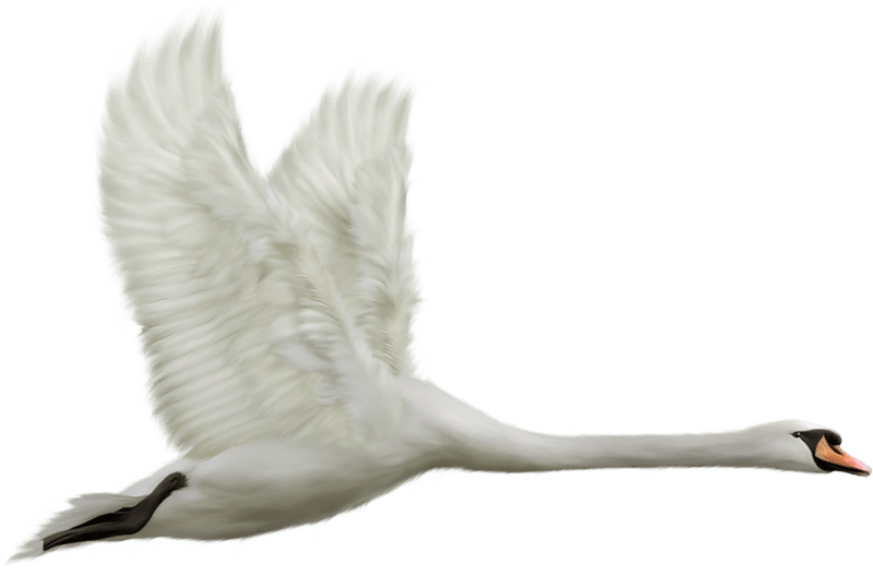 Couple clipart swan. Flying transparent png stickpng