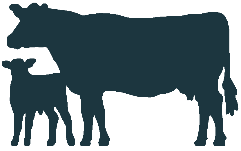 Angus cattle welsh black. Cow clipart calf