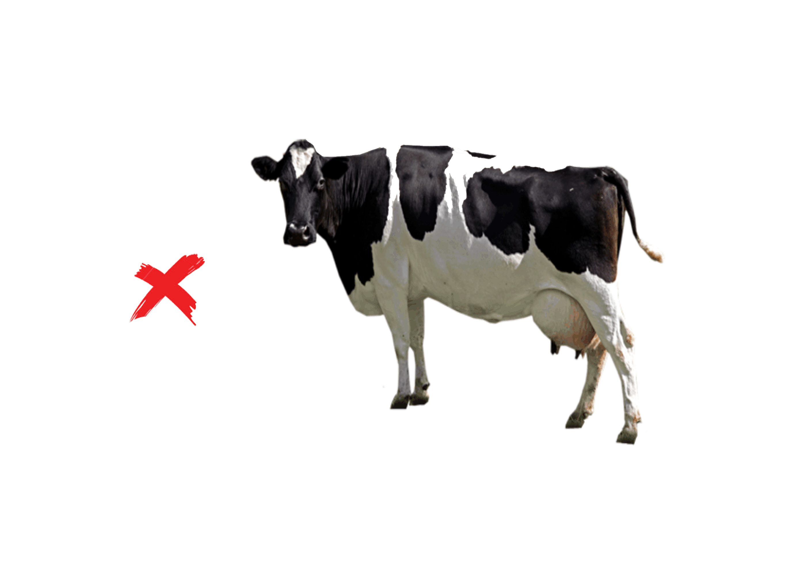 Vedik farms foreign breed. Cows clipart cow indian