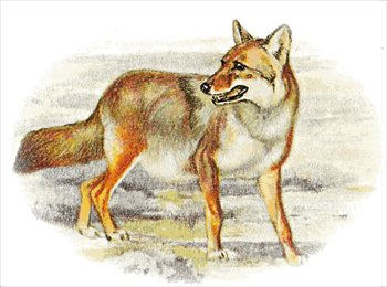 Free graphics images and. Coyote clipart