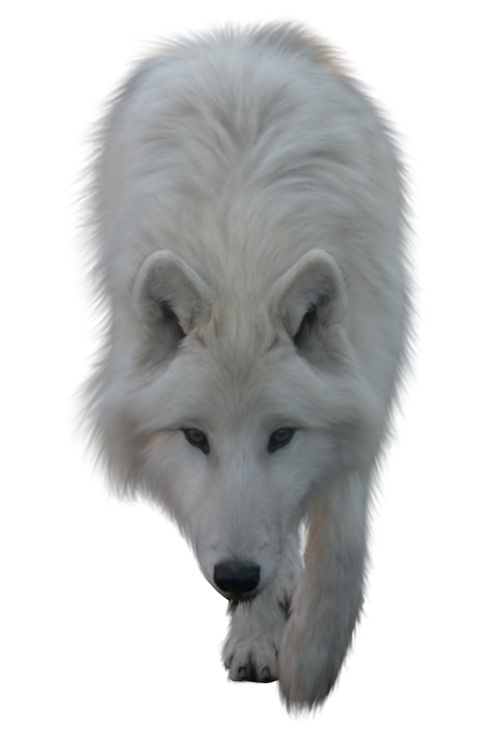 Wolves clipart polar fox. White wolf by itsdura