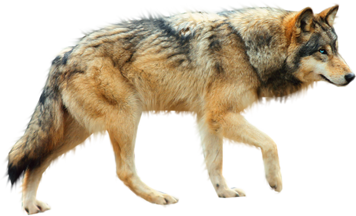 Coyote clipart artic wolf. Dog arctic sign png