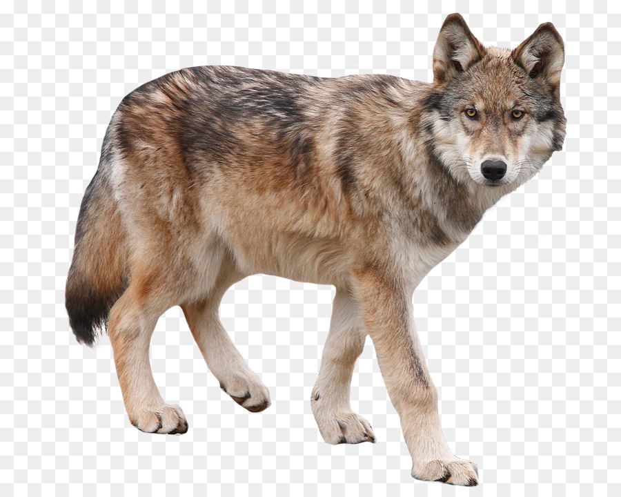 Cartoon dog transparent clip. Coyote clipart brown wolf