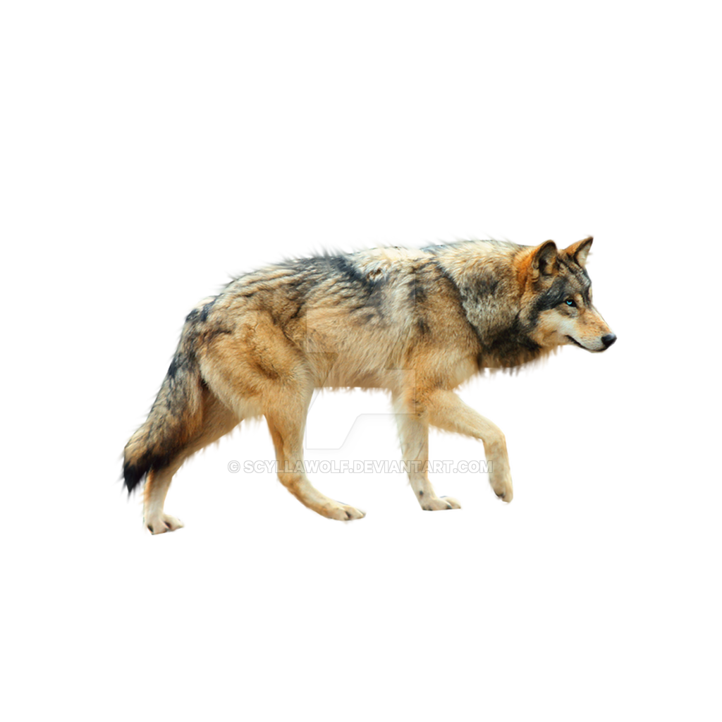 Coyote clipart brown wolf. Png
