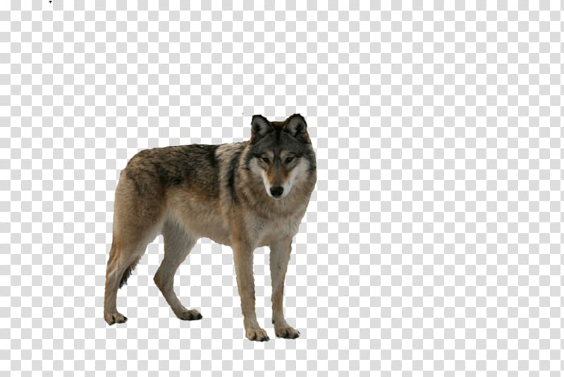 Wolfdog fur snout transparent. Coyote clipart brown wolf