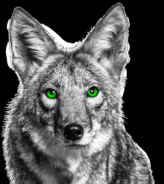 Coyote clipart cayote. Freetoedit blackandwhite greeneyes