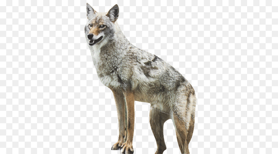 Coyote clipart cayote. Dog red fox duck
