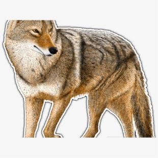 Coyote clipart desert coyote. Logo arizona coyotes