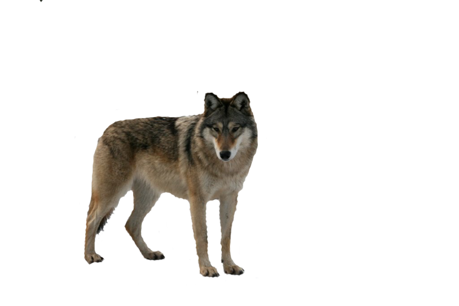 Wolf clipart nature. Eight isolated stock photo