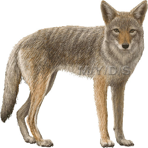 Picture large panda free. Coyote clipart jackal
