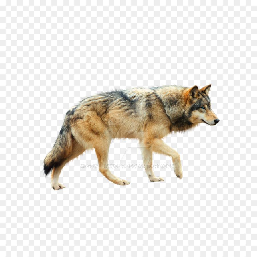 Wolf cartoon drawing wildlife. Coyote clipart lobo