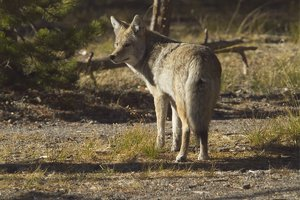 Free photo image animal. Coyote clipart standing
