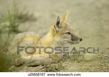 X free clip art. Coyote clipart swift