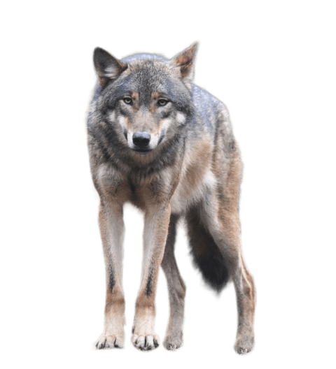 Portable network graphics clip. Coyote clipart transparent
