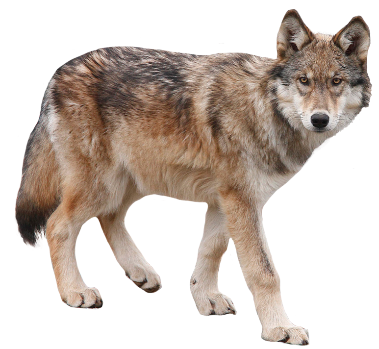 Howling animal kid . Coyote clipart transparent