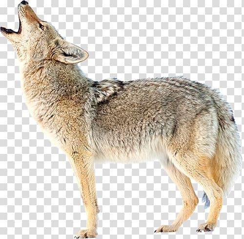 Coyote clipart transparent. Jackal background png hiclipart