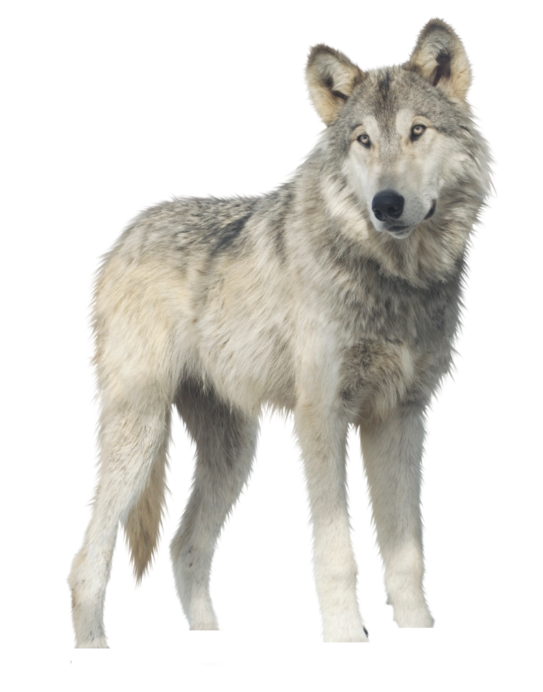 Wolves clipart realistic. Jericho wolf png by