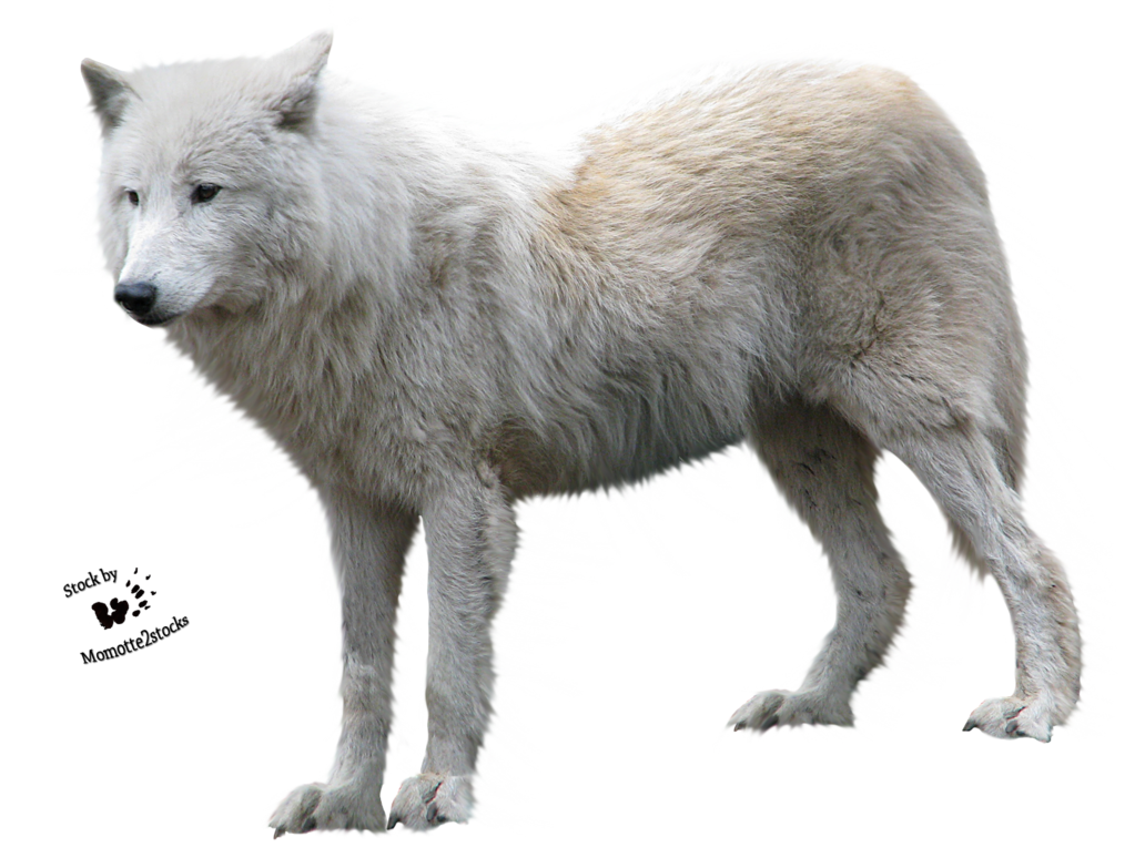 Wolf clipart clear background. Png image free picture