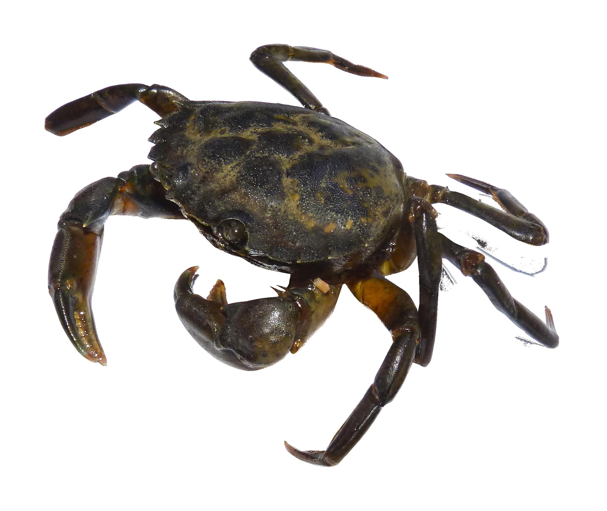 Shell png images pngpix. Crab clipart coconut crab