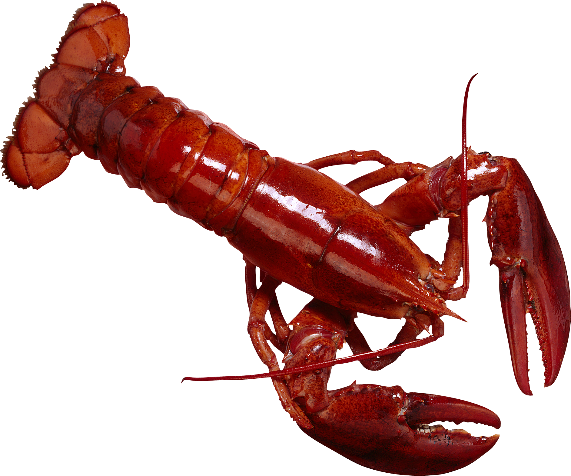 Lobster clipart dancing shrimp. Png animal pinterest