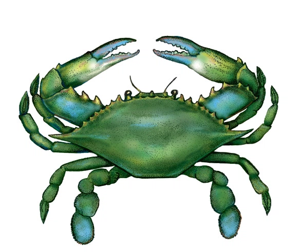 Seafood background transparent clip. Crab clipart green
