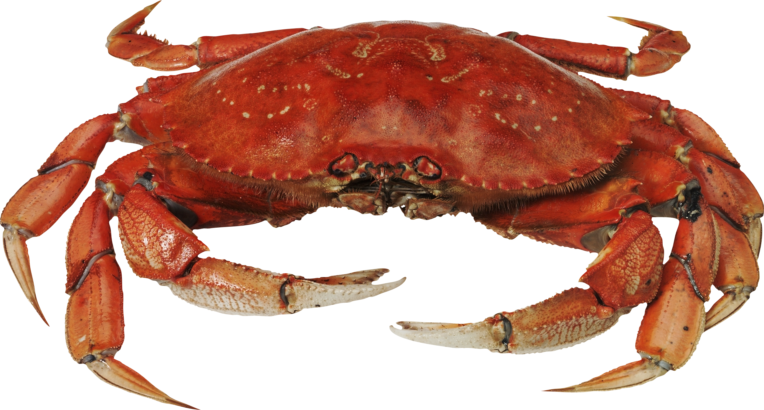 Red standing png image. Crab clipart king crab