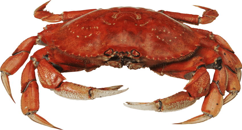 Crab clipart orange crab. Red standing png free