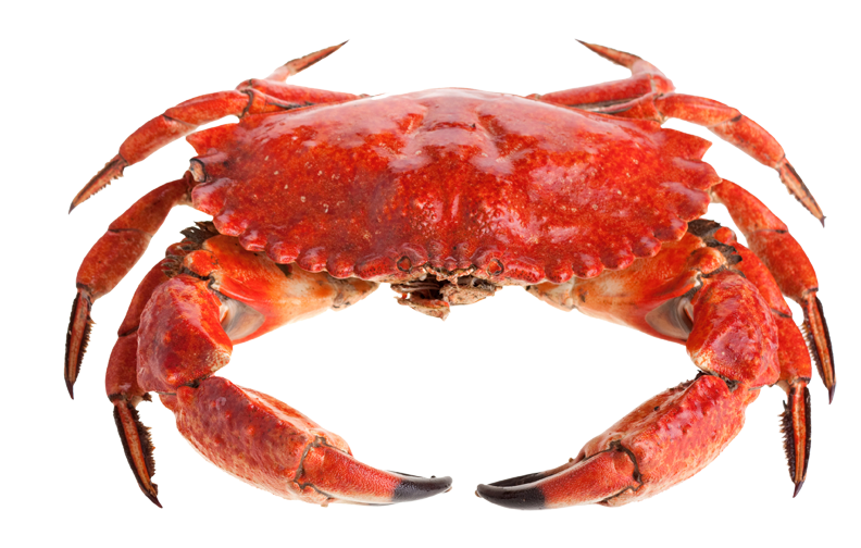 Red standing png image. Crab clipart stone crab