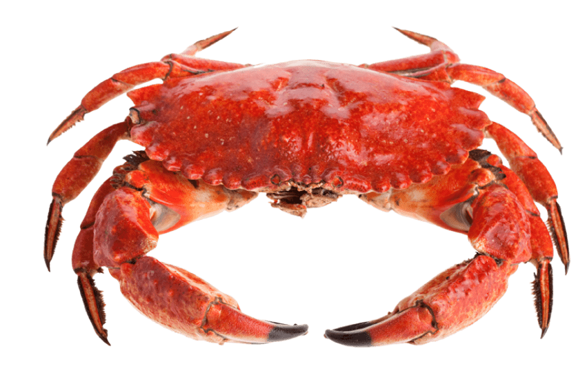 Crab clipart top view. Red standing png free