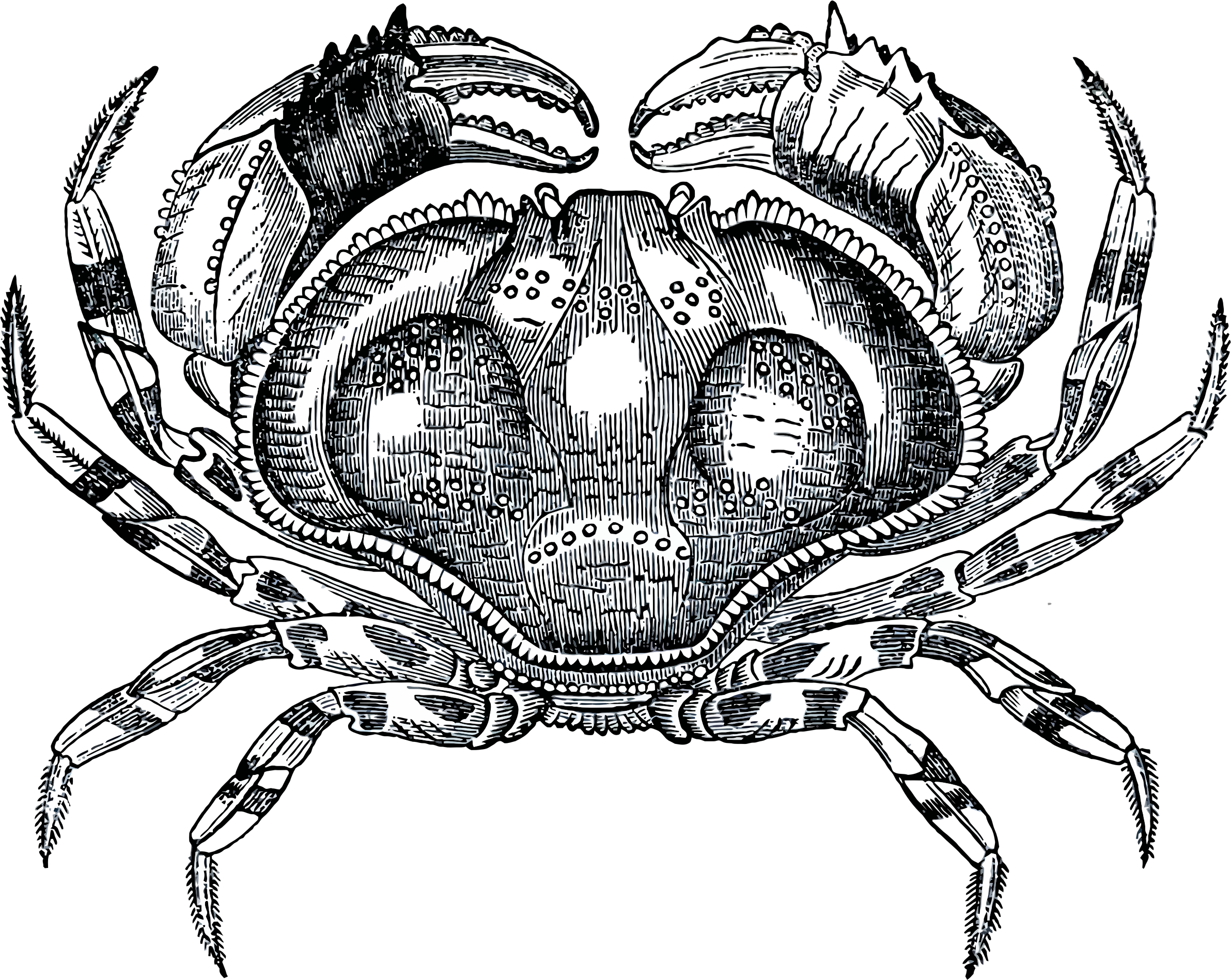 Crabs clipart symmetry. Grayscale crab big image