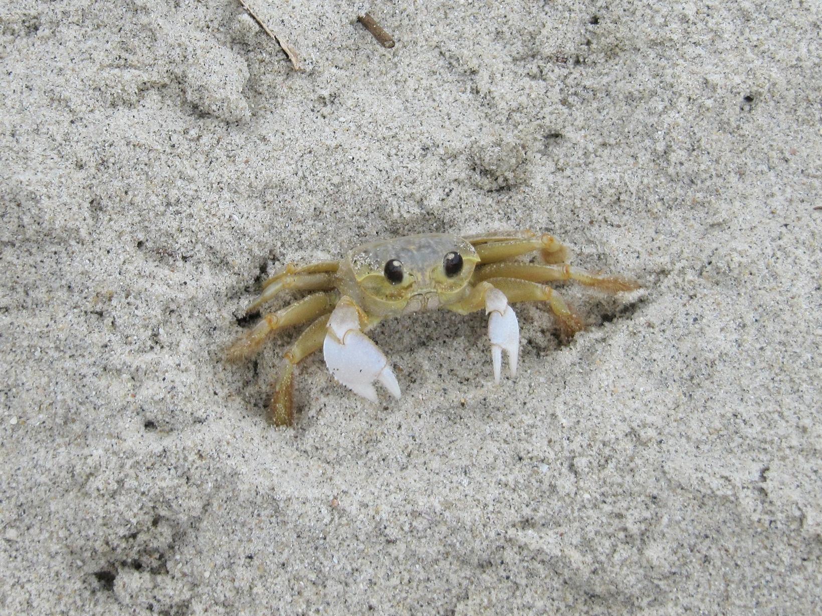File atlantic jpeg wikimedia. Crabs clipart ghost crab