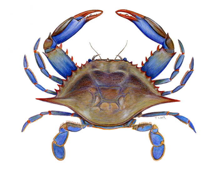 Interesting things about blue. Crabs clipart maryland live