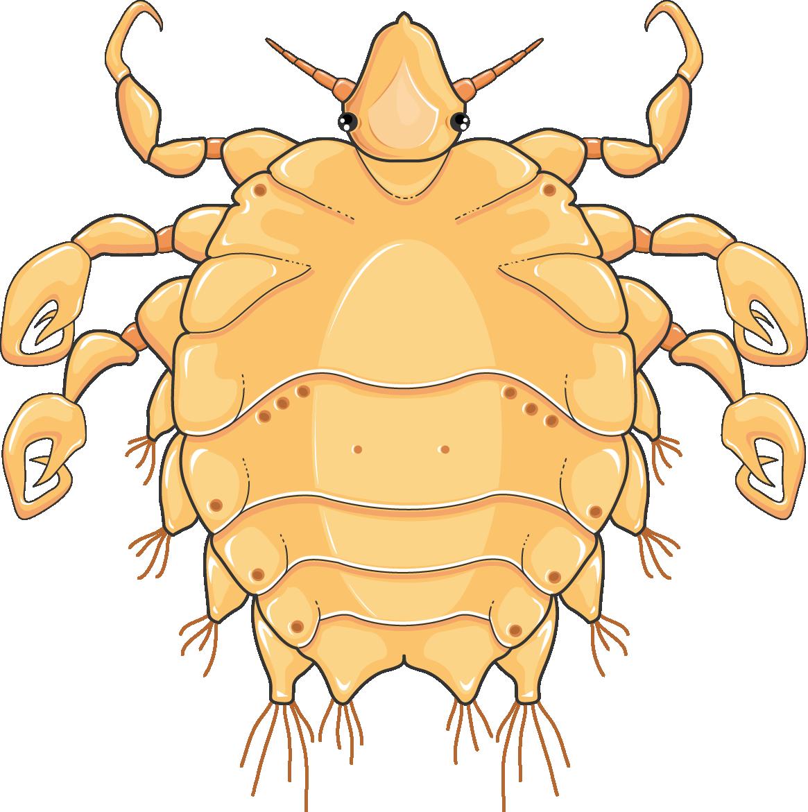 Phtirus inguinalis morpion servier. Crabs clipart symmetry