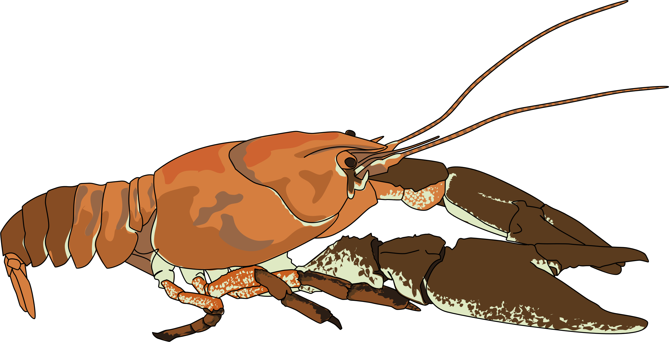 Ecrevisse a pattes blanches. Seafood clipart crayfish