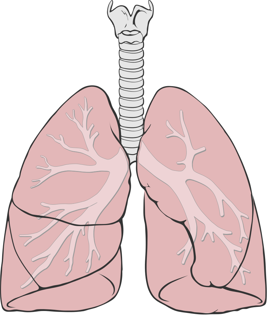 File diagram simple svg. Lungs clipart frog