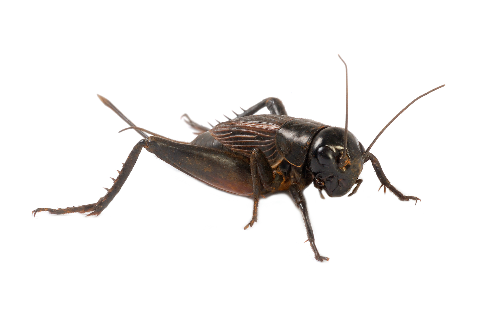 Cricket clipart brown cricket insect. Facts about crickets terro