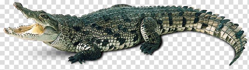 Crocodile clipart caiman. Alligator gharial transparent
