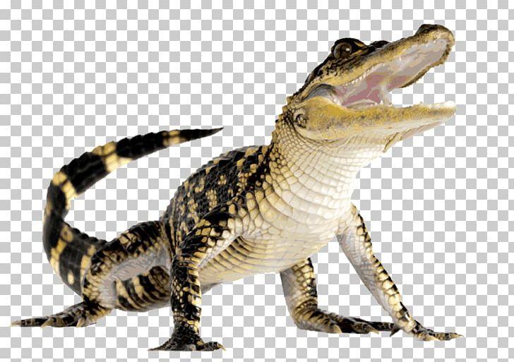 Crocodile clipart caiman. Alligator png