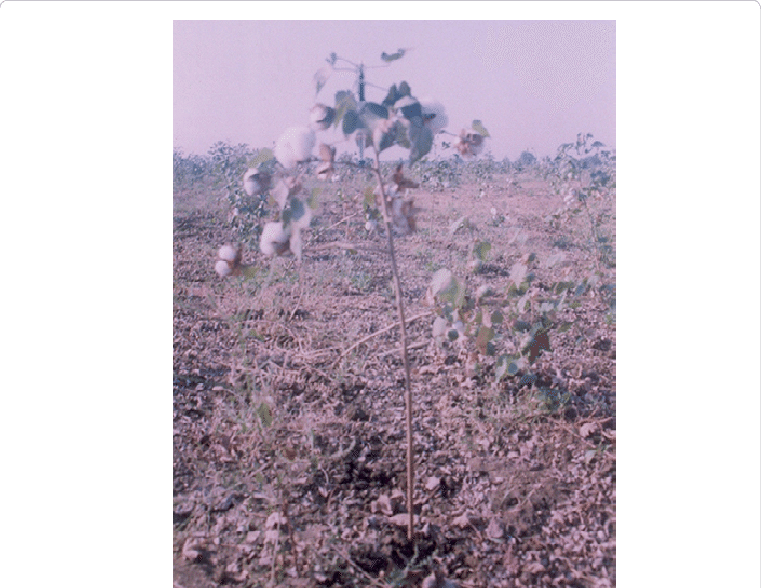 Cotton crop fully blossomed. Land clipart agricultural land