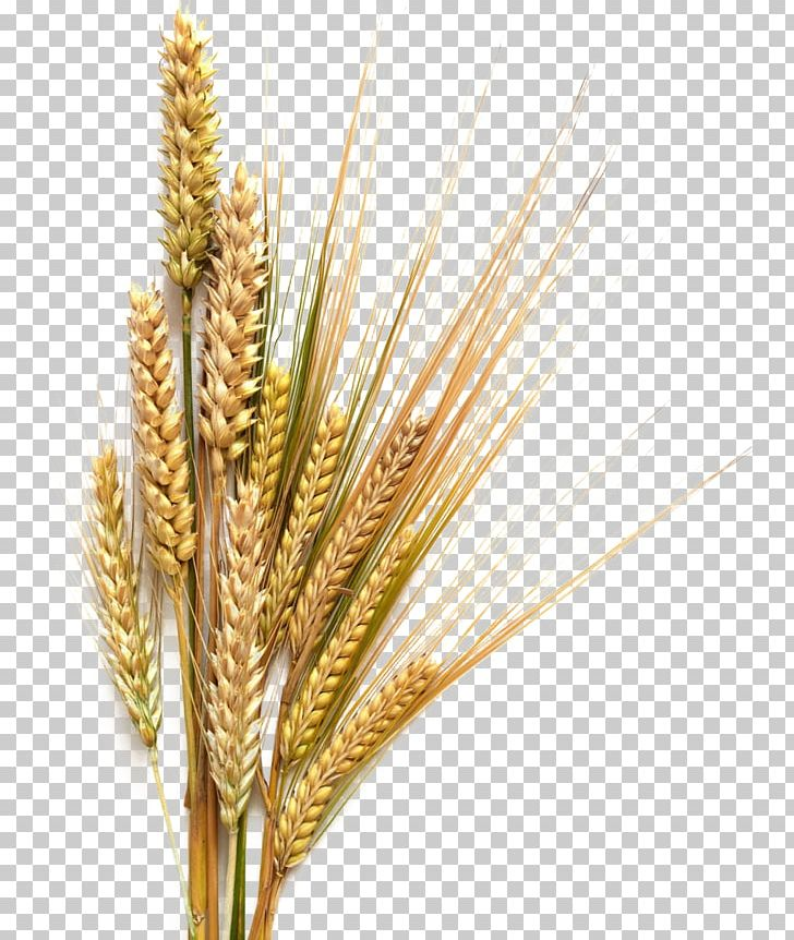 Beer stout common cereal. Wheat clipart wheat straw